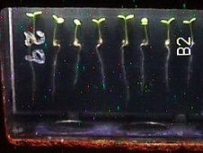 Samples from the Seedling Growth investigation aboard the International Space Station. (NASA)