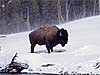 A bison stands in the snow