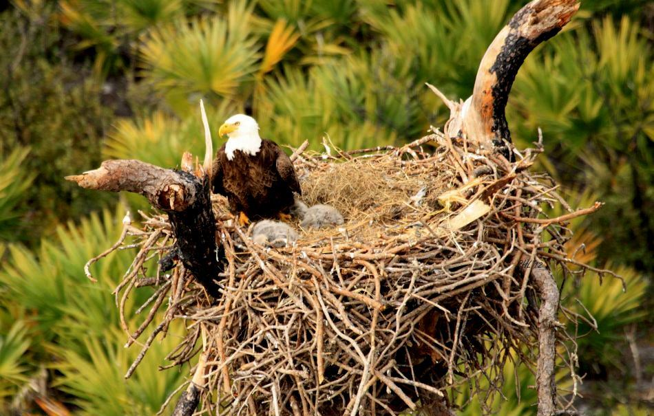 A New Generation Of Long Island Born Bald Eagles
