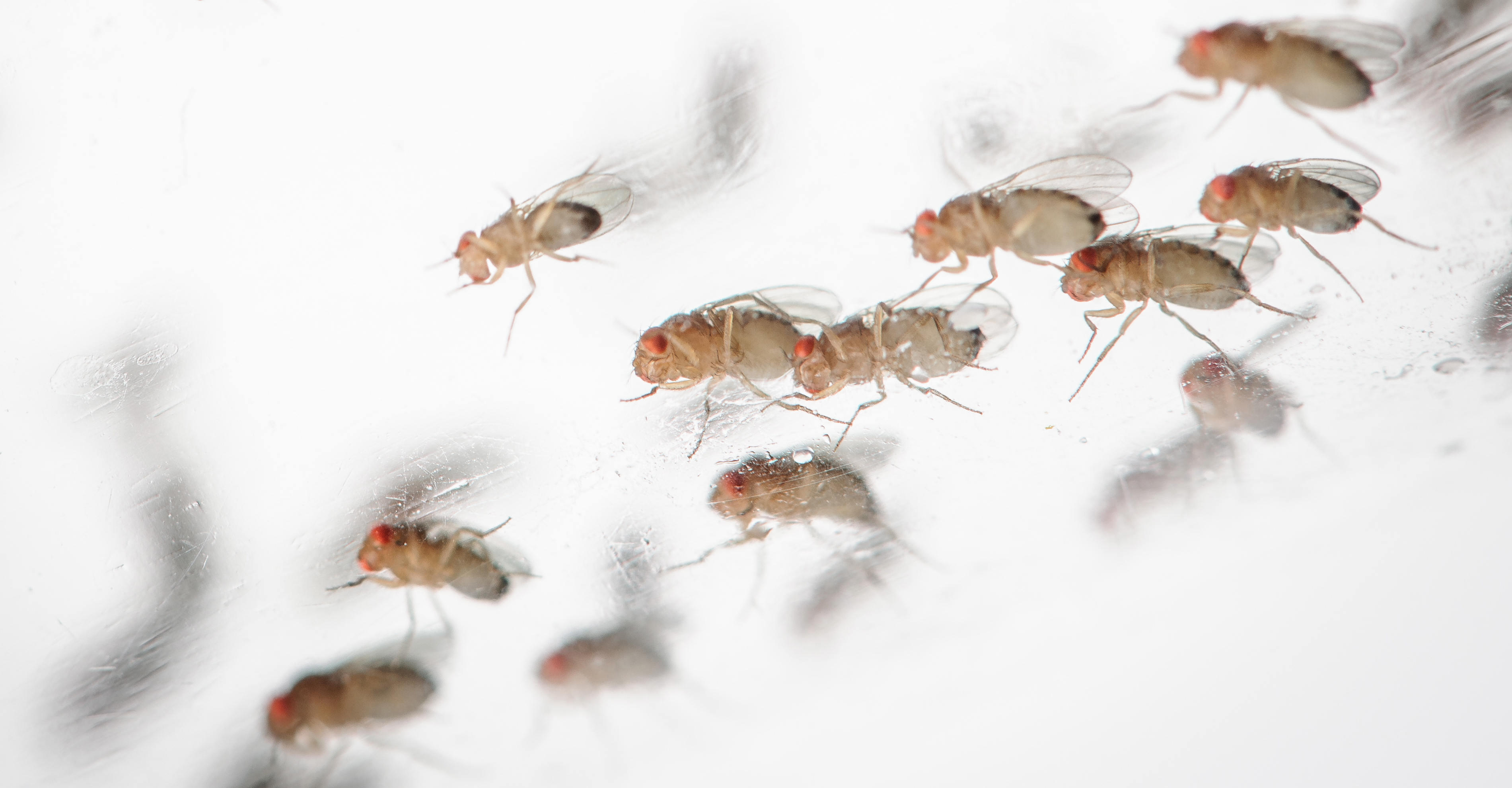 buzzing activity fruit flies orbit earth for science nasa fruit flies such as these spent one month aboard the international space station during the heart