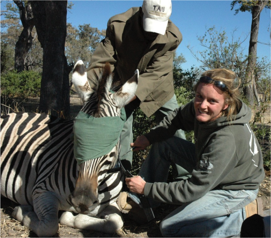 Dr. Hattie Bartlam-Brooks collared a zebra with GPS to track their location along the migration route. Image Credit: Botswana Herbivore Research