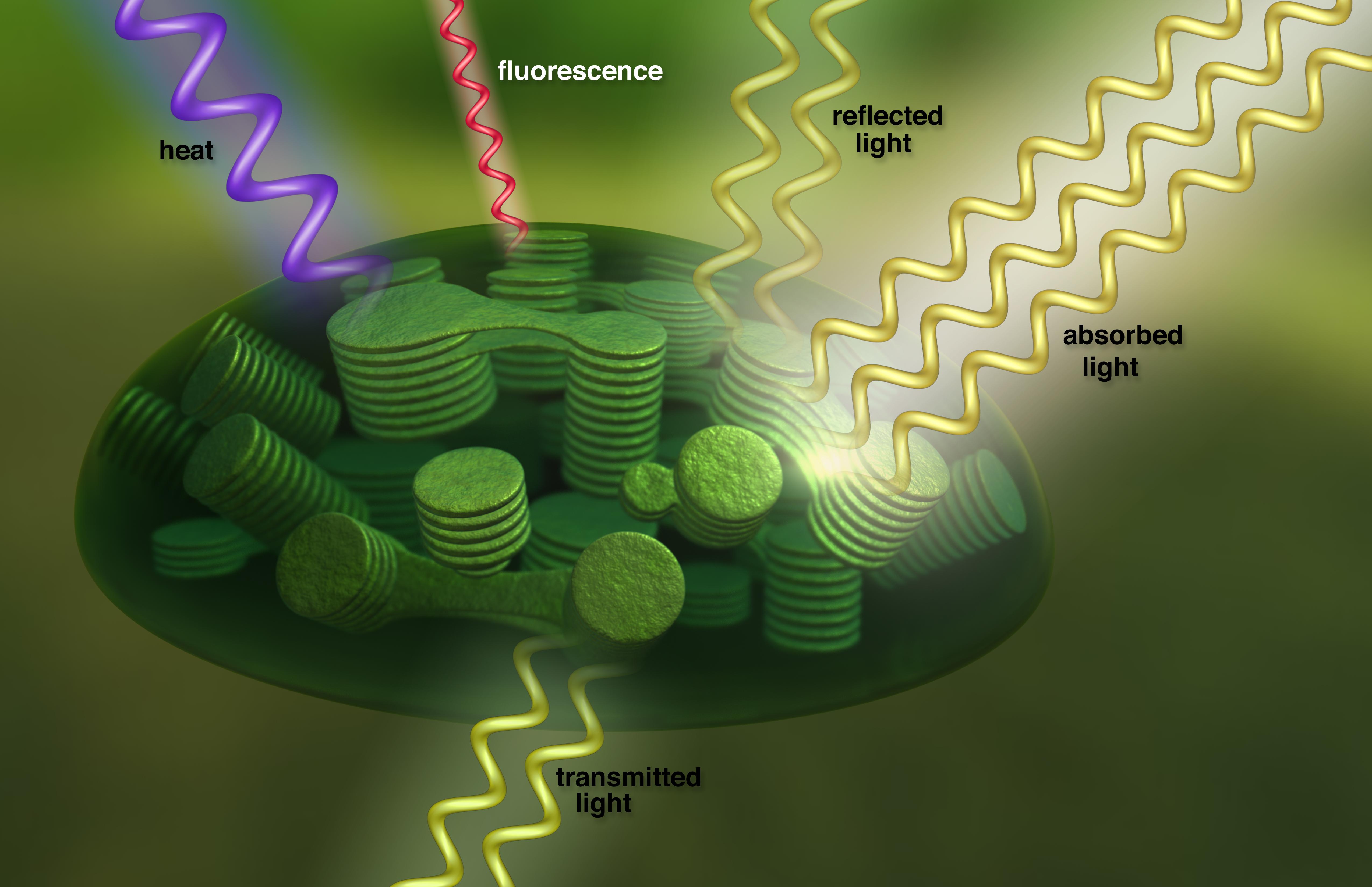 กลภายในคลอโรพลาจากเซลล์พืชแปลงแสงแดดเป็นพลังงานเปล่งแสงเรืองแสงในกระบวนการ นักวิทยาศาสตร์สามารถตรวจสอบลายนิ้วมือเรืองแสงในข้อมูลดาวเทียม