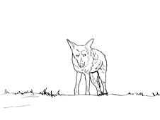 Coyote walking in neighborhood park