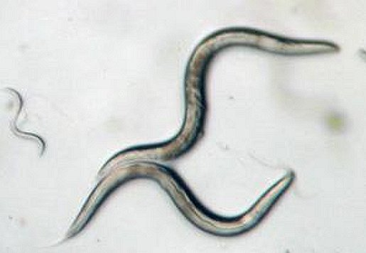 Caenorhabditis elegans -- a millimeter-long roundworm with a genetic makeup scientists understand -- will be central to a pair of Japanese Aerospace Agency investigations into muscle and bone loss of astronauts on the International Space Station in the first few months of 2015.