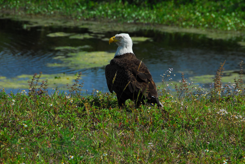 eagle resting bald Adult