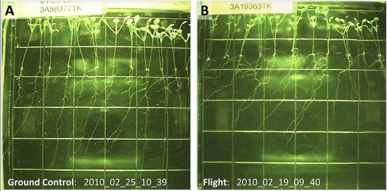 Bildergebnis für Arabidopsis thaliana iss