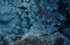 Deep sea creatures, like these anemones at a hydrothermal vent