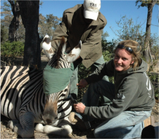 Dr. Hattie Bartlam-Brooks collared a zebra with GPS to track their location along the migration route.