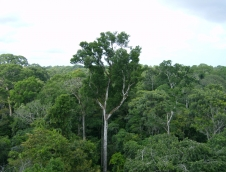 Old-growth Amazon tree canopy in Tapajós National Forest, Brazil