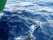 Dolphins off the bow of the F.G. Walton Smith.