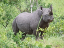 Black Rhinoceros in North Luangwa National Park in Namibia.