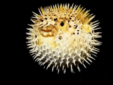 NASA is creating new technology for its flight to Mars by mimicking the behavior of Pufferfish. Pufferfish are poor swimmers, but can quickly ingest huge amounts of water to turn themselves into a virtually inedible ball several times their normal size.