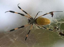 "A female golden orb spider in her web, the same type of spider used in the CSI-05 study that inspired the ""Spiders in Space"" teacher's guide."