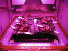 Outredgeous red romaine lettuce plants grow inside in a prototype Veggie flight pillow. The bellows of the hardware have been lowered to better observe the plants. A small temperature and relative humidity data logger is placed between the pillows small white box, central.