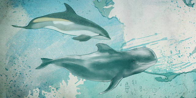 illustration of an Atlantic White-sided Dolphin and a Long-finned Pilot Whale