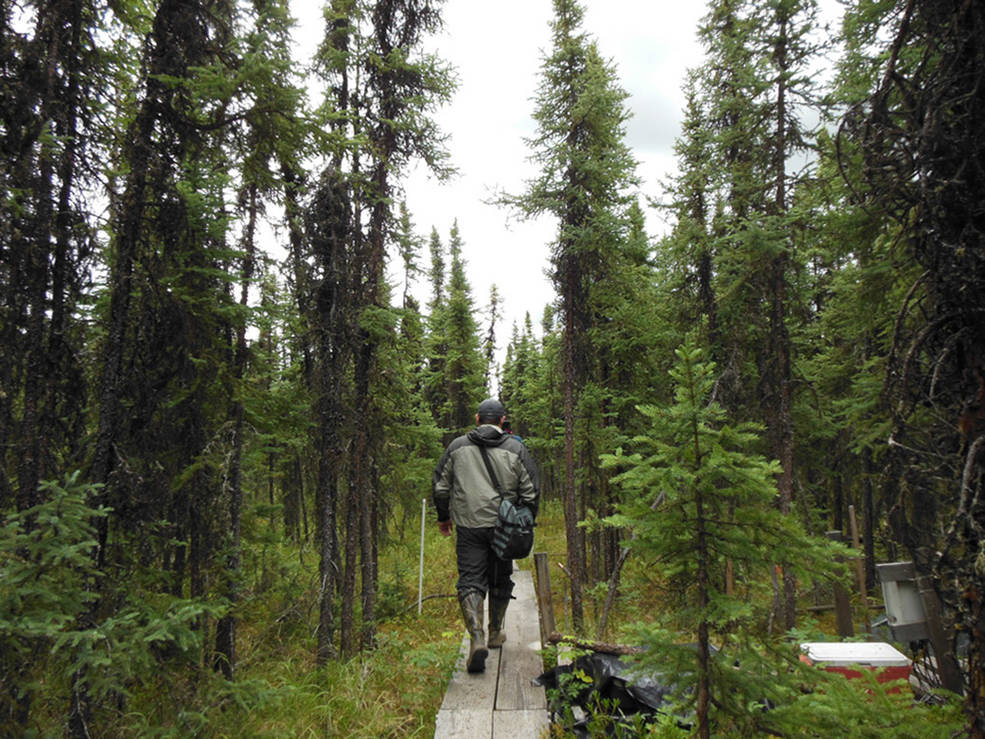 researcher walks on boards through forest
