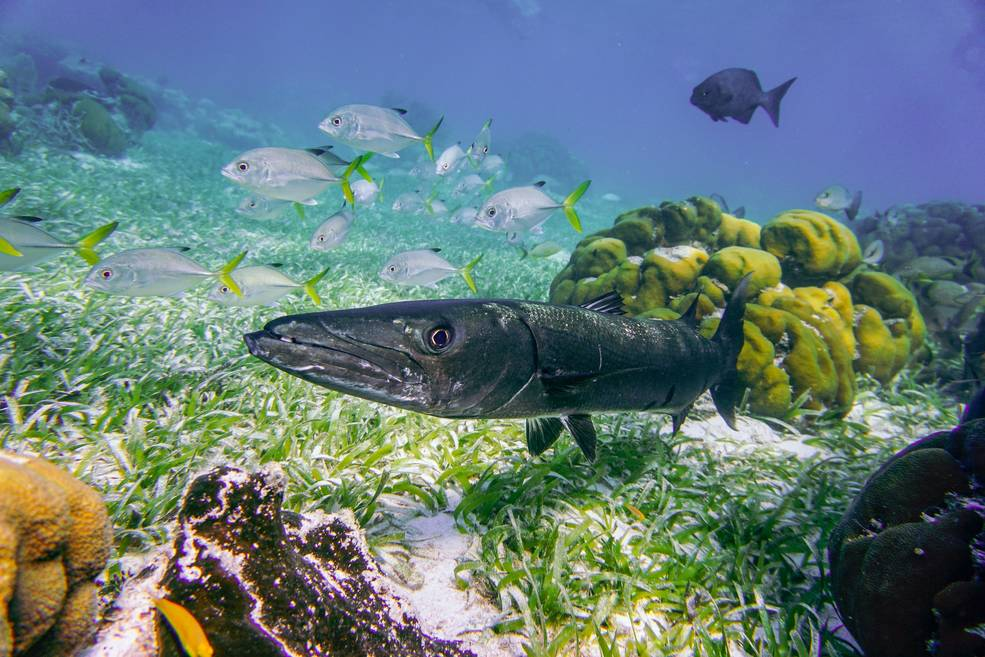 Vibrant colors of the Belize barrier reef system with swimming fish.