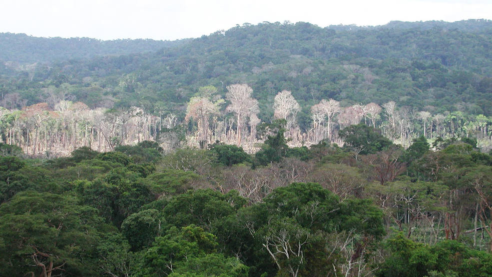 A line of dead and damaged trees after a surface fire in the Amazon rainforest in western Brazil