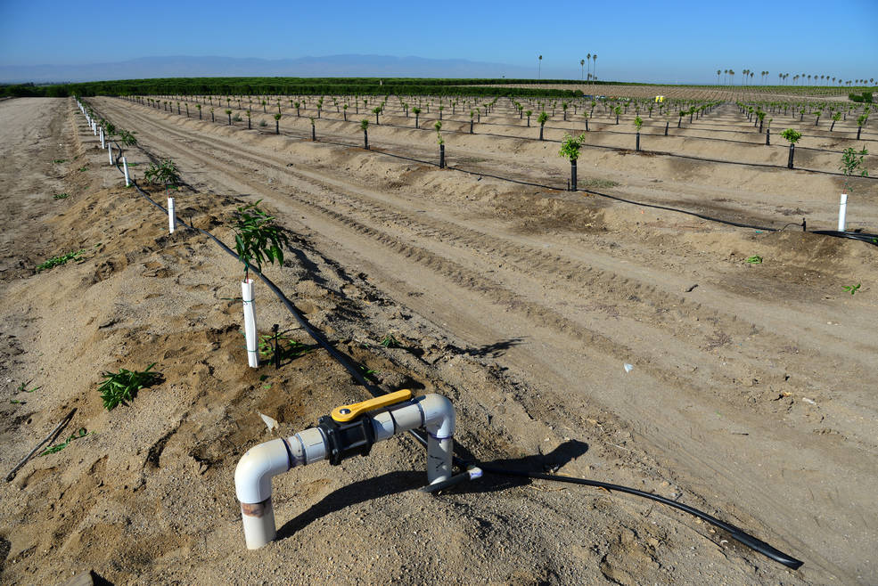 Newly-planted almond trees