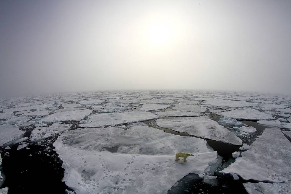 A polar bear wandering on the thinning sea ice in the spring of 2015.