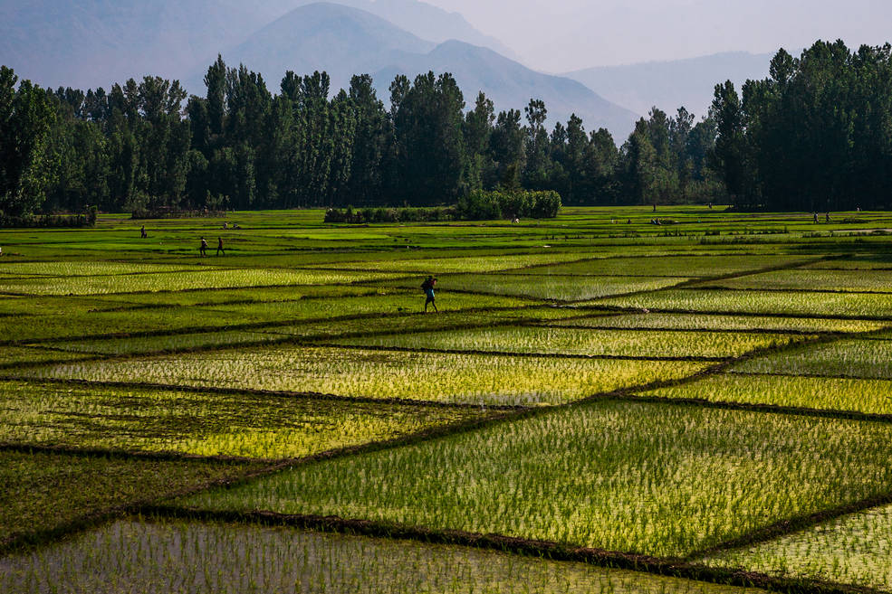 Rice paddy fields in India