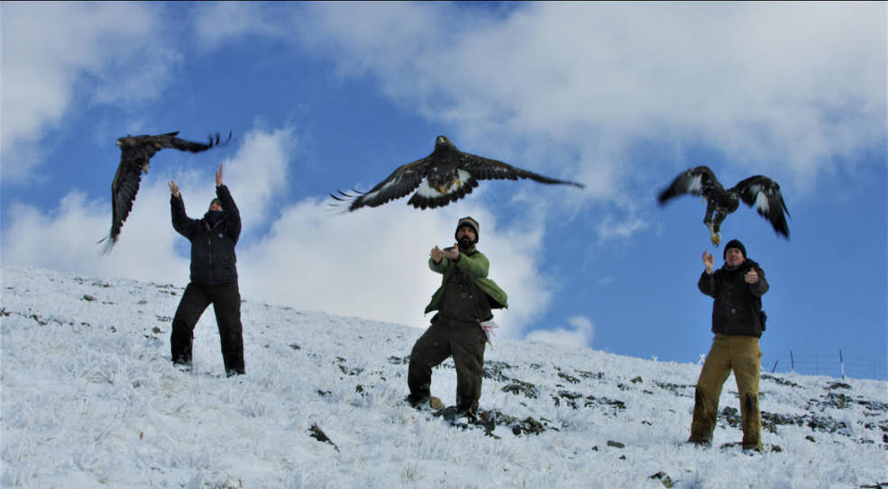 Researchers release several eagles after affixing tags to track the eagles' movement.