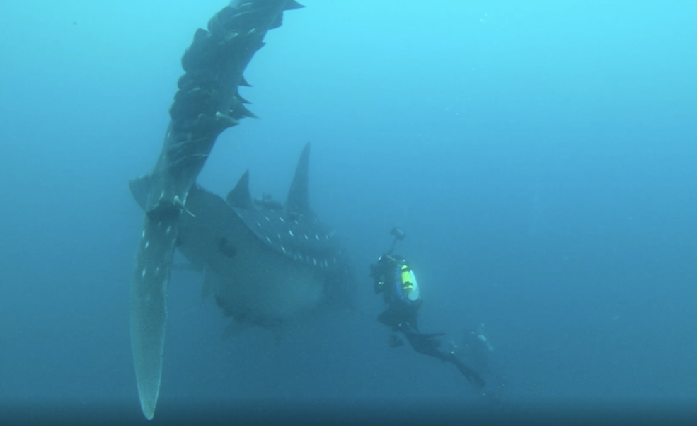 A diver attaches a tracking tag to a speckle-skinned whale shark.