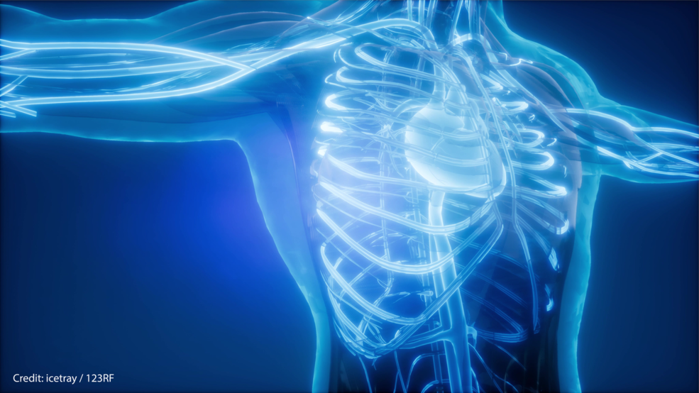 3D image of a human torso's bones and vascular system.