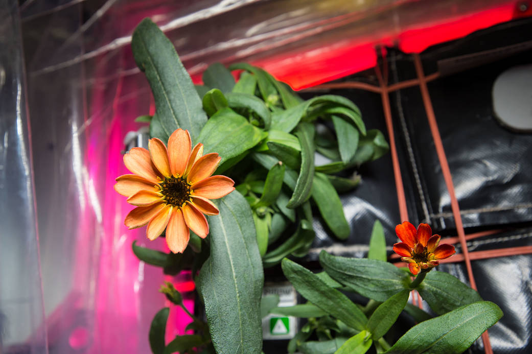 Closeup of zinnia flower with green leaves in VEGGIE growth chamber on space station