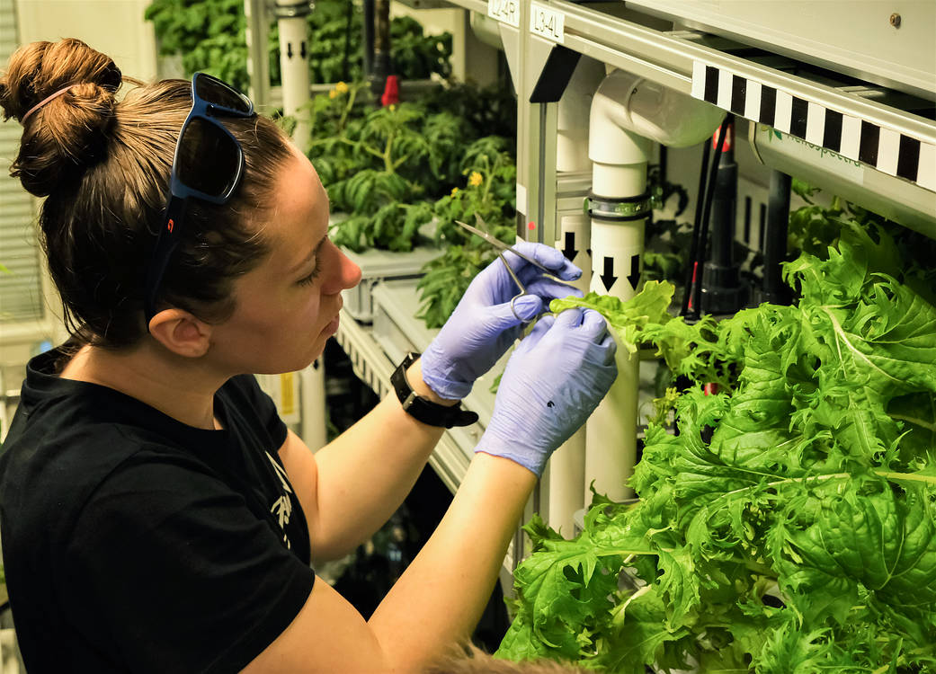 Jess Bunchek, a plant scientist from NASA's Kennedy Space Center, harvests Mizuna mustard greens inside EDEN ISS, a greenhouse at the Neumayer III station in Antarctica, on April 28, 2021.