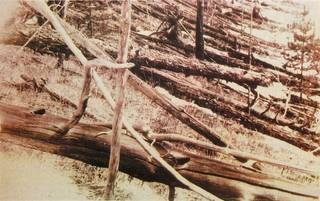 Trees flattened by the intense shock wave created in the atmosphere as the space rock exploded above Tunguska on June 30, 1908.