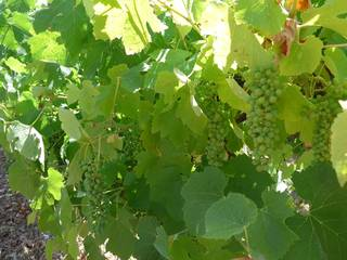 close up of green grapes, leaves, vines