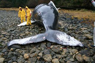 Humpback whale calf stranded in Alaska