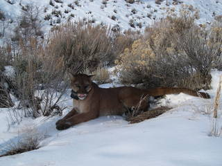 adult female mountain lion in Oquirrh Mountains, Utah