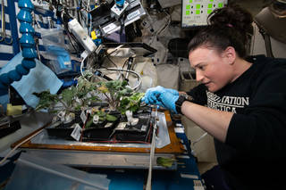 Astronaut Serena Auñón-Chancellor harvests red Russian kale and dragoon lettuce from Veggie on Nov. 28, 2018.