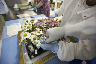 Zinnia plants from the Veggie ground control system are being harvested in Kennedy's Flight Equipment Development Laboratory