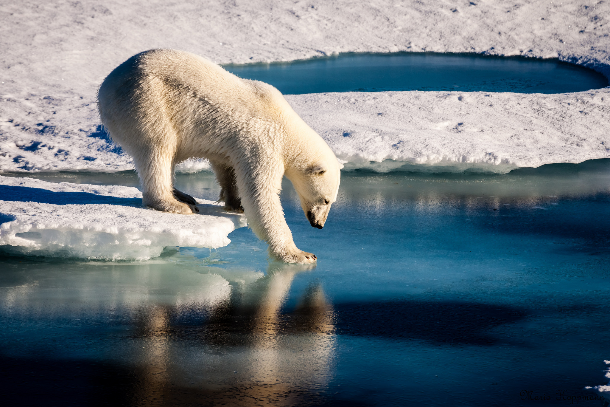 Polar Bear Tests Thin Ice