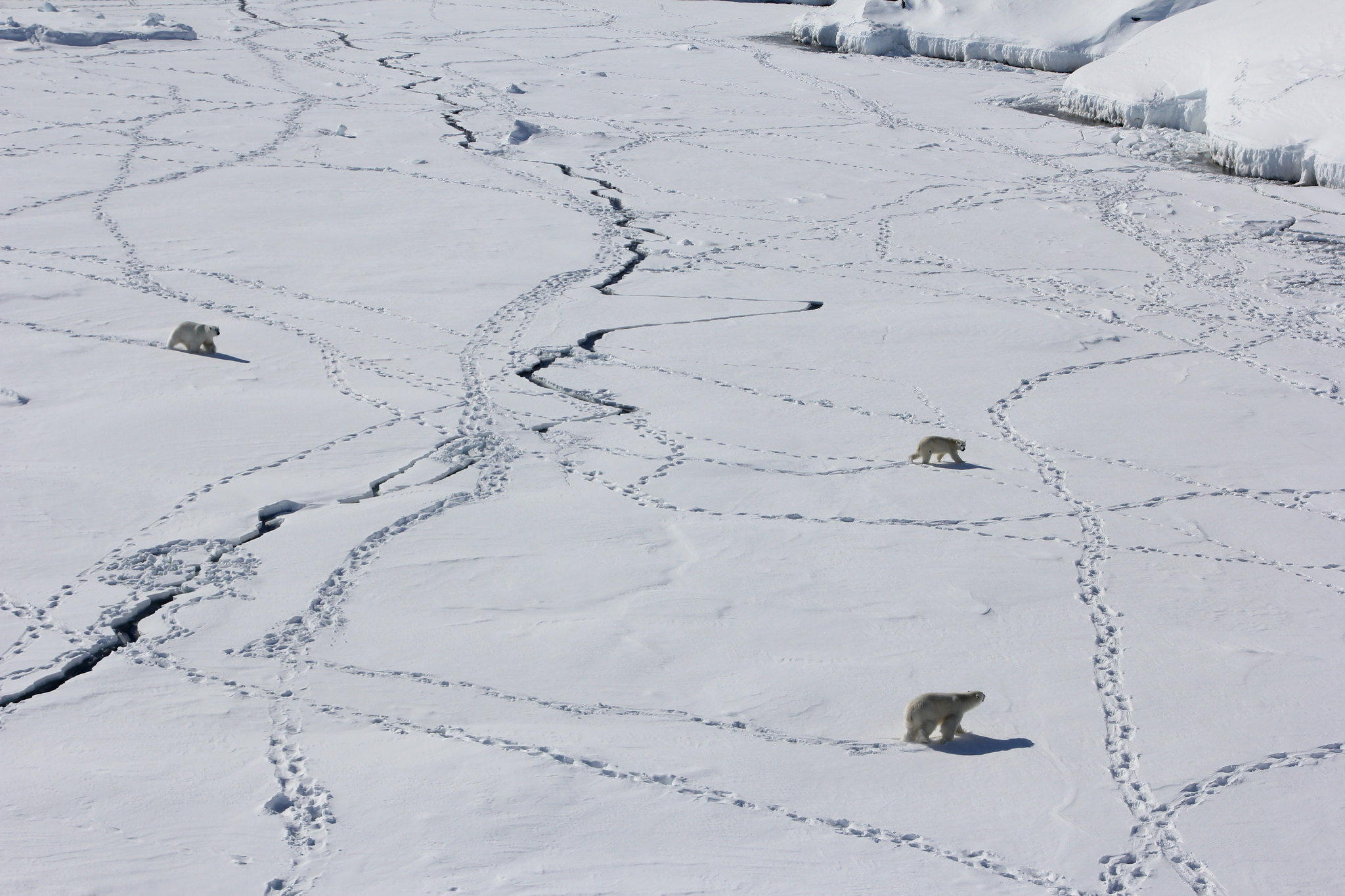 Three Polar Bears Cross Tracked Ice