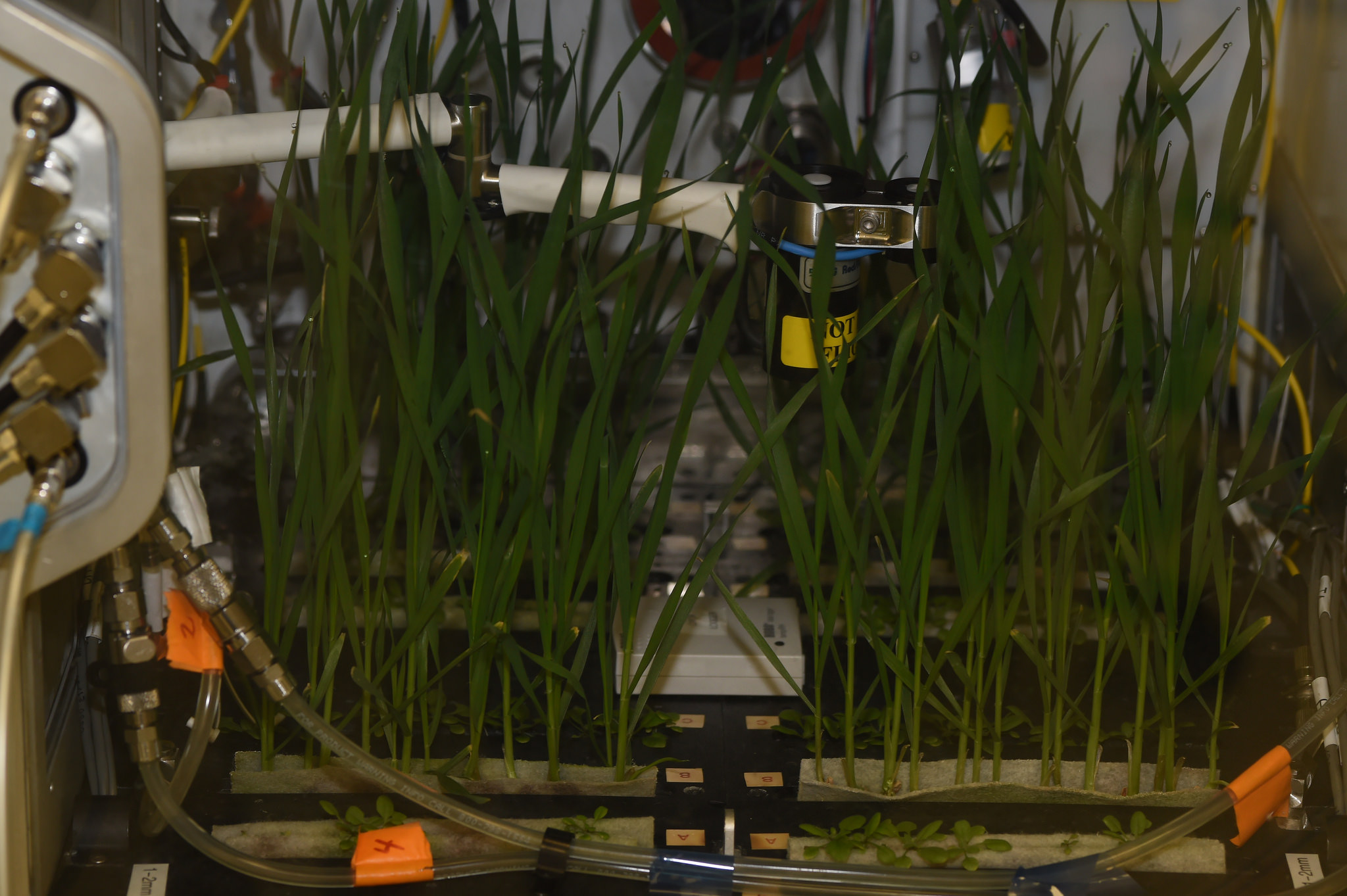 A test unit, or prototype, of NASA's Advanced Plant Habitat (APH) with its first initial grow test in the Space Station Processing Facility at Kennedy Space Center in Florida. The taller plants are dwarf what and the smaller plants are Arabidopsis. Developed by NASA and ORBITEC of Madison, Wisconsin, the APH is the largest plant chamber built for the agency. Photo credit: NASA