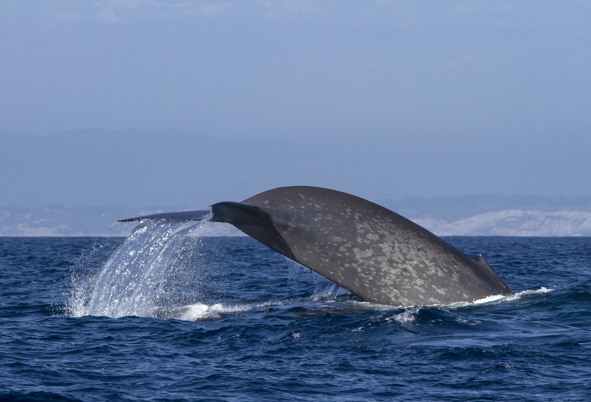 nasa satellite data helps protect endangered whales nasa