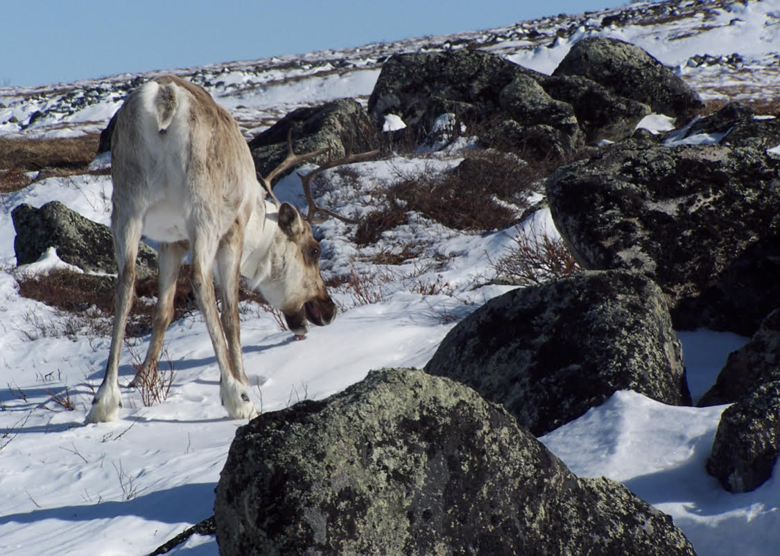 A caribou wearing a GPS tracking collar in the snow.
