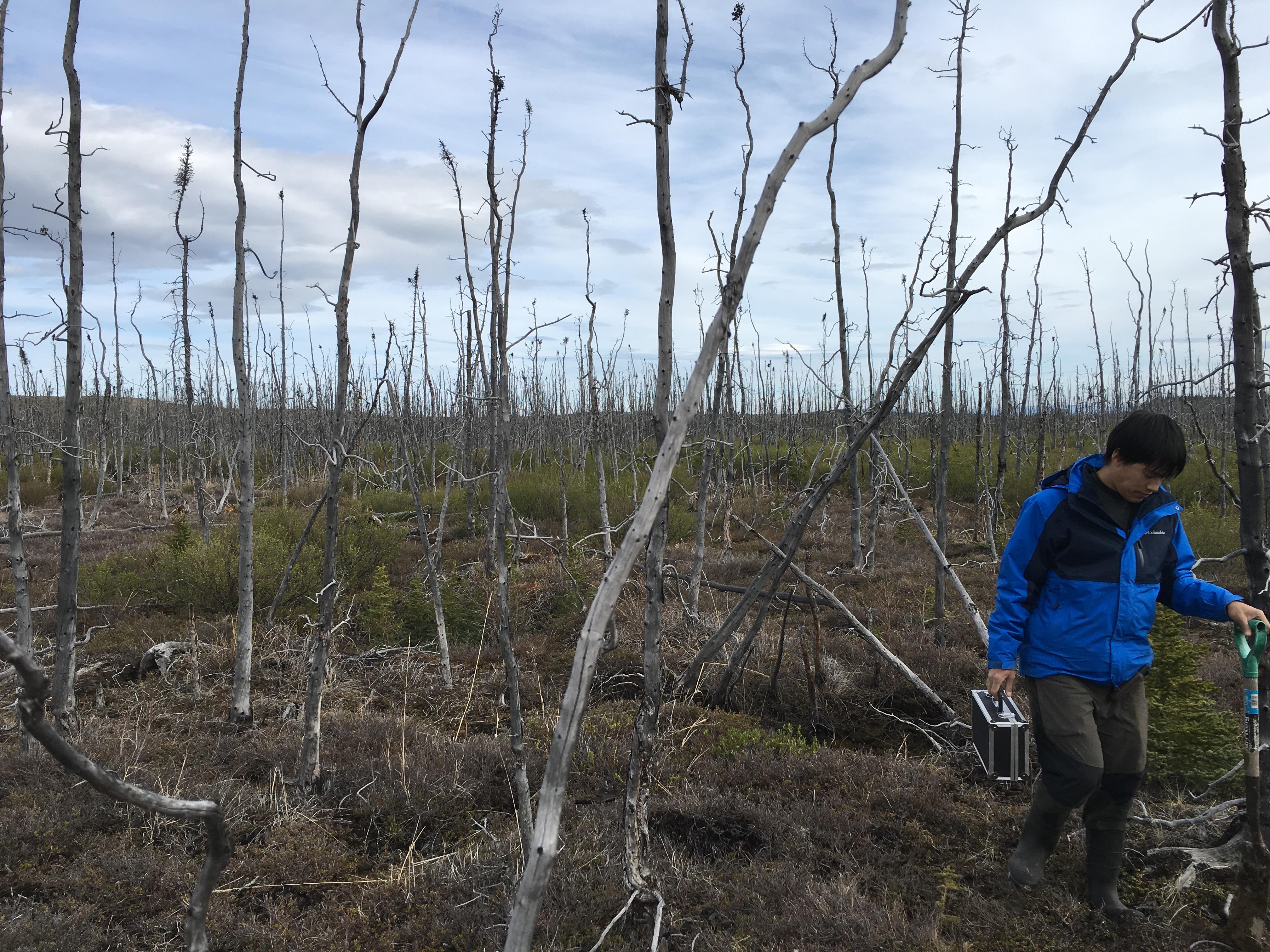 Standing dead black spruce trees in a burned area near Delta Junction, Alaska.