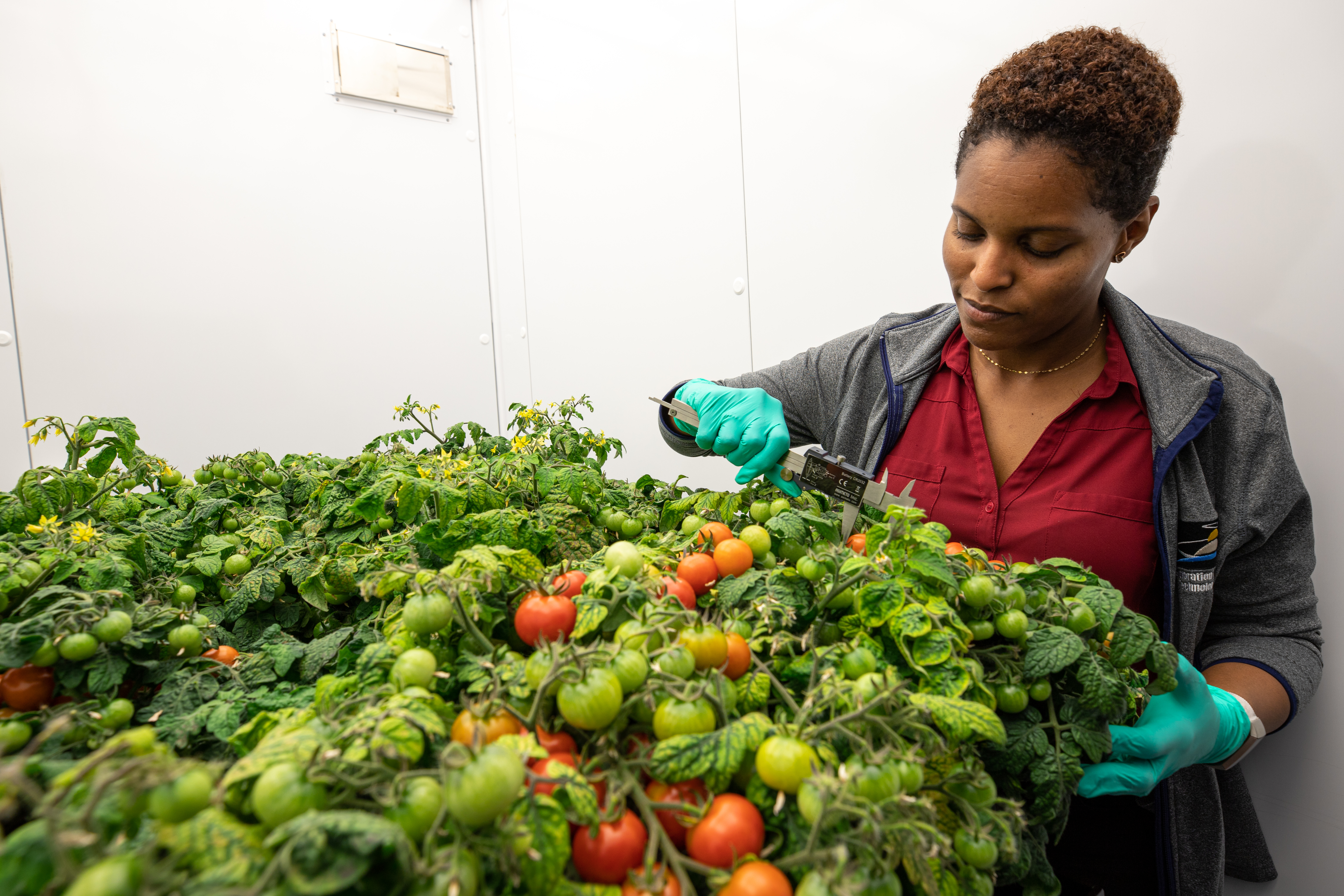 Red Robin Tomato Plants Grow In Test