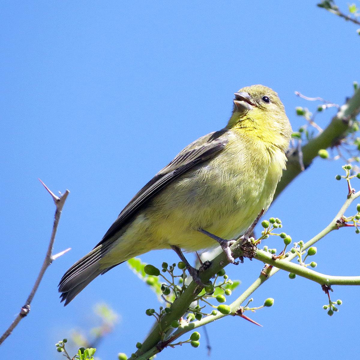 U.S. Desert Songbirds at Risk in a Warming Climate | NASA