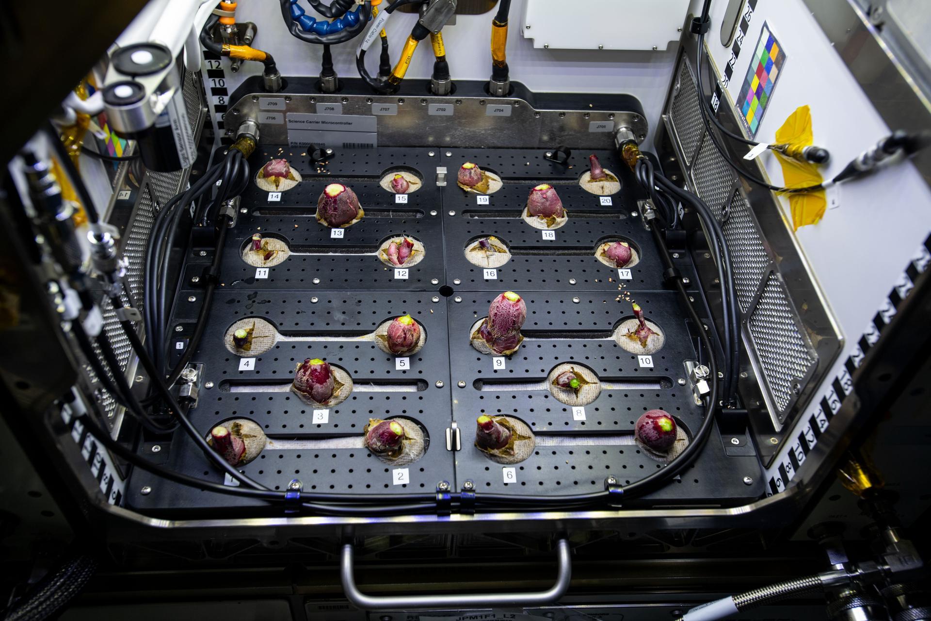 Astronauts Harvest First Radish Crop on International Space Station   NASA