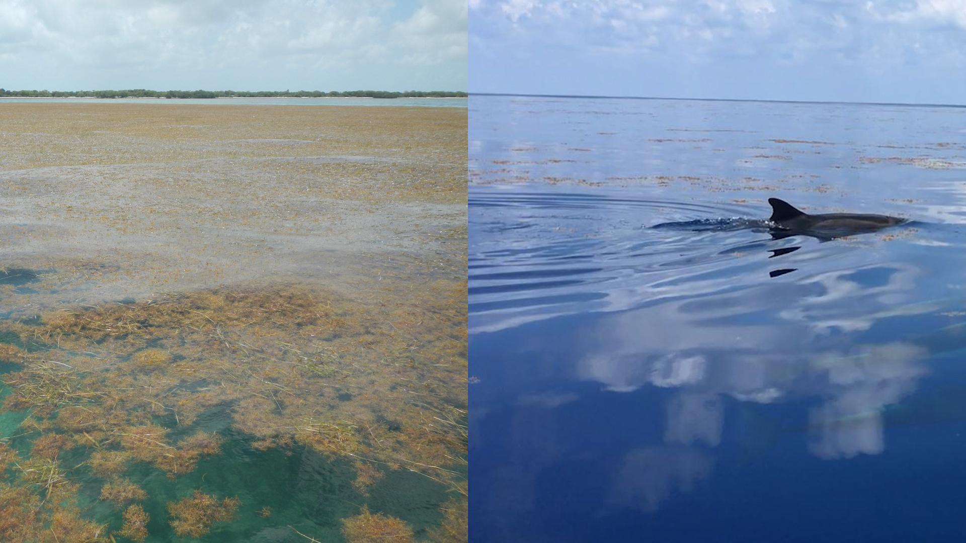 NASA Satellites Find Biggest Seaweed Bloom in the World   NASA